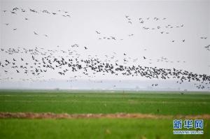 黄河湿地群雁来临