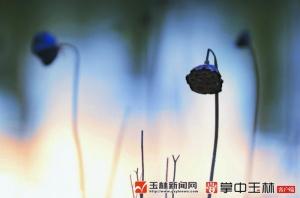 【视觉玉林】有一种美叫初冬残荷