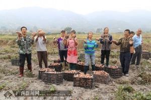 兴业县卖酒村:推广红薯栽培新技术 贫困户喜增收