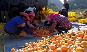 高清組圖:秋高氣爽 平果采收柑橘正當時