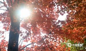 柳州:馬鹿山公園楓香樹迎最佳觀賞期