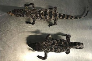 南宁吴圩机场海关在旅客行李中查获2只鳄鱼标本