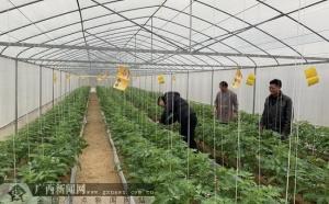 环江塘万村大棚种植实现村集体经济增收