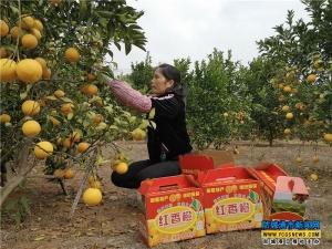 红香橙丰收 果农喜开颜