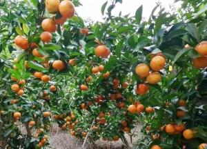 乐业百坭村180万斤砂糖橘紧急待售,帮帮他们吧!