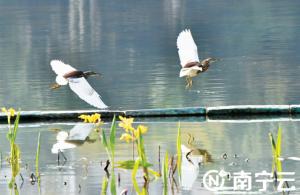 南湖水環境改善后吸引許多野生鳥類在此安家落戶
