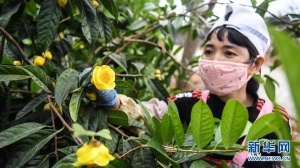 广西合浦:金花茶飘香