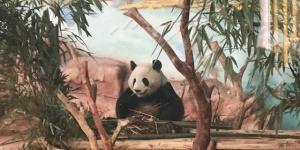 """南宁动物园大熊猫""""绩美""""、""""绩兰""""见客啦"""