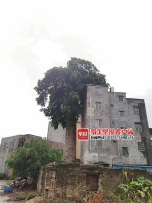 """灵山一座废弃烟囱顶部长榕树,宛如一把""""绿巨伞"""""""