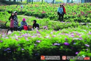 玉林园博园花海迷人,预计春节进入赏花高峰期