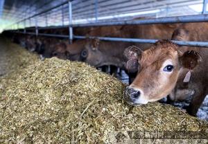 欽州口岸首批進口澳洲種牛完成隔離檢疫