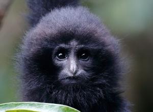 高清�D集:追�稀世罕�物�N――�|黑冠�L臂猿
