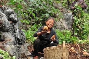 產量再翻番仍供不應求 大化白玉薯成為扶貧