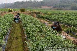 灵山县:精准扶贫不放松 稳产保供促增收