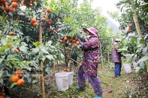 環江獎補300萬元助銷農產品 客商已來采購水果575噸