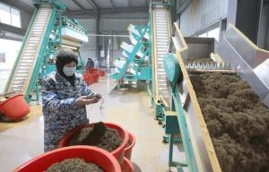 三江:日产干茶30余万公斤 茶厂赶制春茶助脱贫
