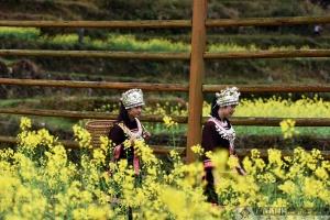 龙胜:油菜花开春意浓