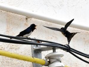 高清组图:燕子唱春天