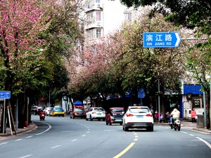 广西柳州:紫荆花开春满城 最美人间三月天(组图)