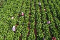 云南寻甸:蚕桑养殖加工助农脱贫致富