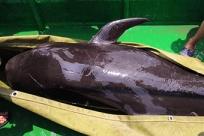 5月20日焦点图:海豚搁浅北海内港 众人合力营救