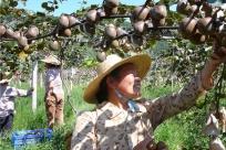 """【乐业故事】创新""""园中园""""模式 猕猴桃种出甜蜜产业"""