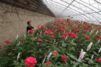 辽宁辽中:玫瑰种植富农家