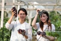 柳州三江:侗乡葡萄香满园