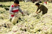 订单菊花助农增收