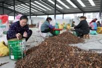廣西三江:油茶產業助脫貧(圖)
