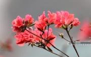 高清:廣西三江杜鵑花開 醉美春色藏山中