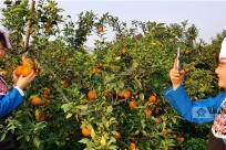 广西南丹:种植黄金果 带动乡村游