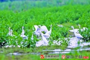 玉林:生态改善,白鹭成群