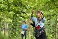 高清:三江發展羅漢果產業助農戶增收
