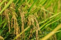 高清美图!柳州螺蛳稻收割了 这样的稻田太靓了