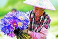 高清圖集:蓮花飄香幸福路