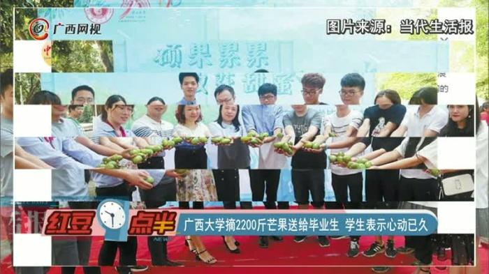 广西大学摘2200斤芒果送给毕业生 学生表示心动已久