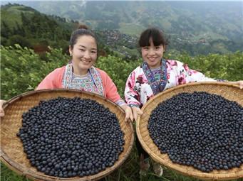 融水:蓝莓种植助脱贫