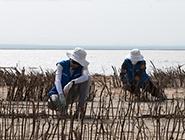 大学生志愿者在内蒙古治沙