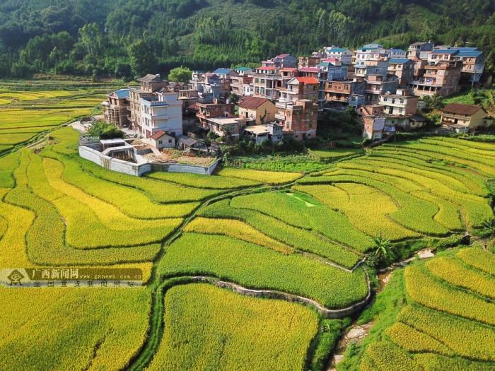 罗城12万亩早稻进入夏收时节 田园风光美如画(图)