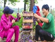 河北永清:葡萄丰收乐农家