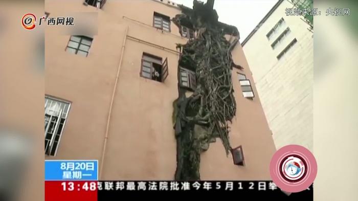 """榕树""""穿墙透窗""""倔强生长"""