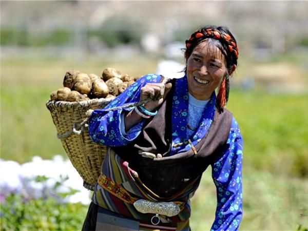 西藏日喀则土豆丰收