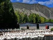 西藏昌都:生态鹅助力脱贫