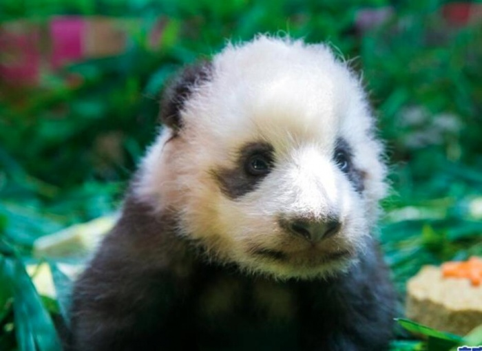 """广州:熊猫宝宝""""隆仔"""""""
