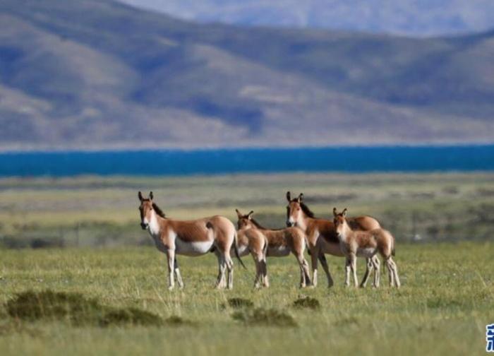 西藏阿里:野生动物的乐园