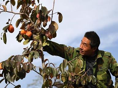 陕西富平:金秋柿红(组图)
