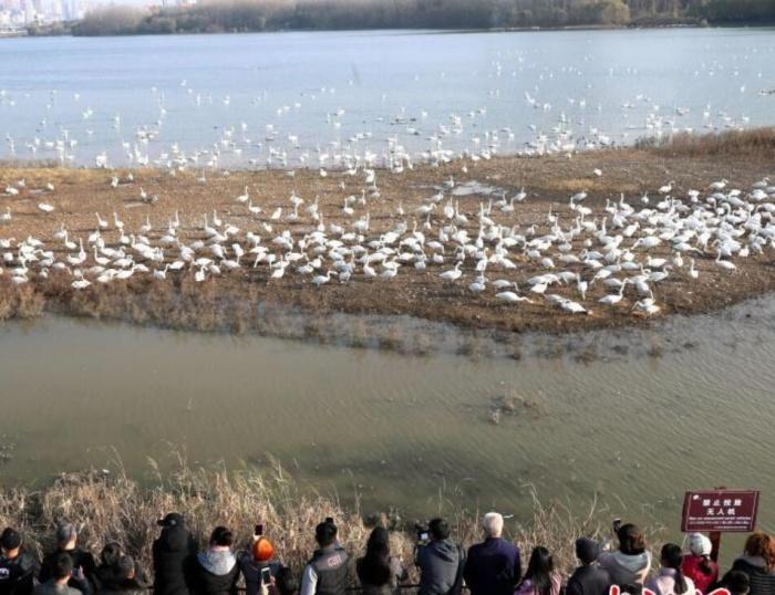 数千只白天鹅抵三门峡越冬