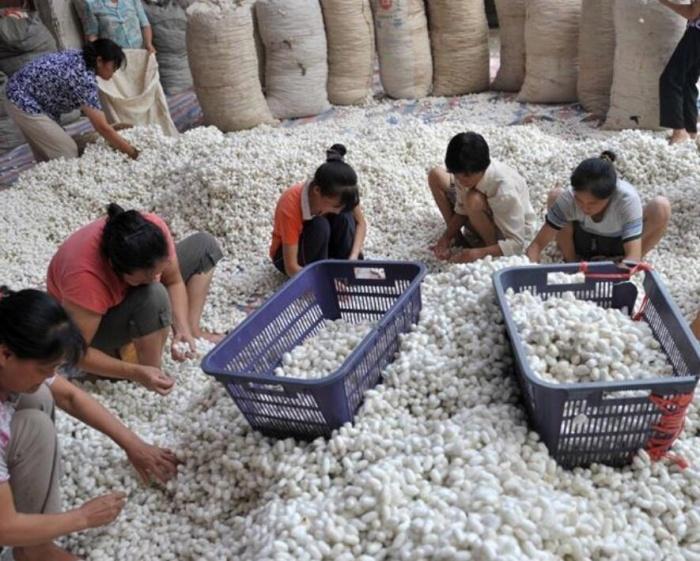 极速大发时时彩蚕茧产量占全国48%
