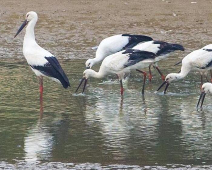 东方白鹳飞临巢湖湿地
